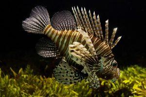 Pesce Scorpione attenzione